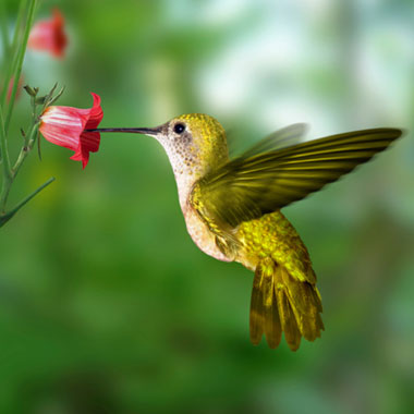 nectar-bird380